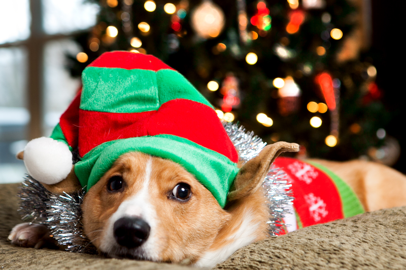 pembroke-welsh-corgi-christmas-card-photos-06