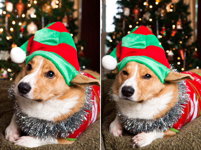 pembroke-welsh-corgi-christmas-card-photos-07
