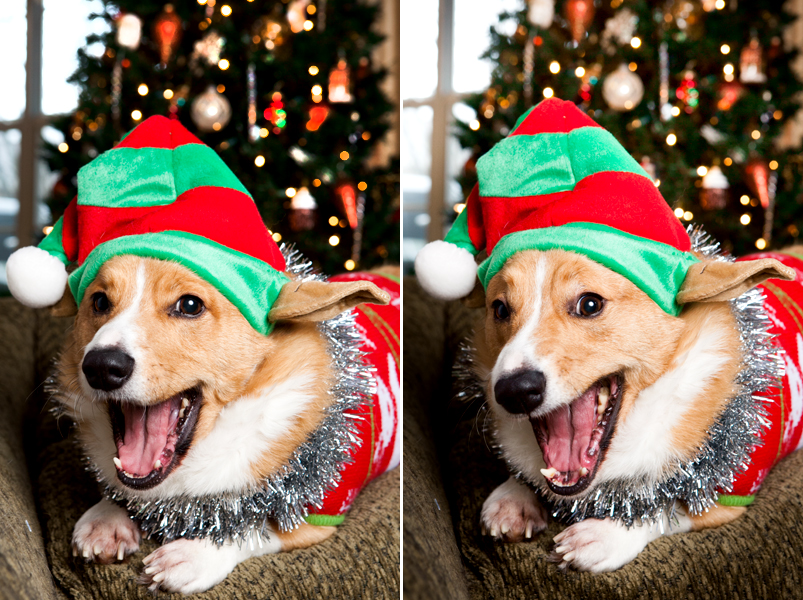 pembroke-welsh-corgi-christmas-card-photos-08