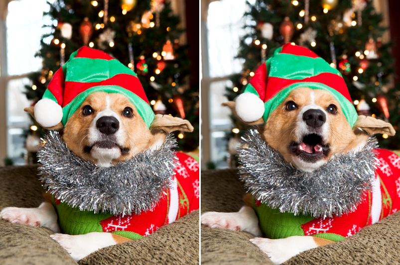 pembroke-welsh-corgi-christmas-card-photos-09