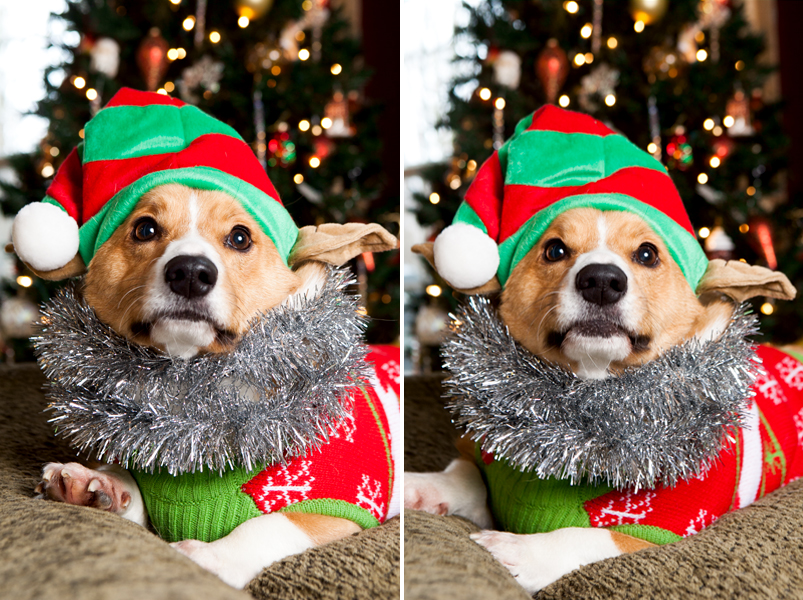 pembroke-welsh-corgi-christmas-card-photos-10