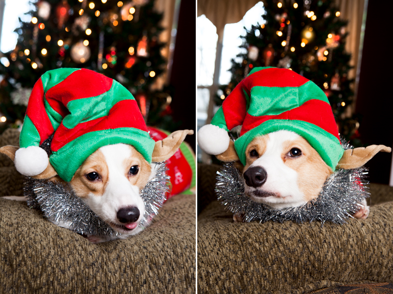 pembroke-welsh-corgi-christmas-card-photos-11