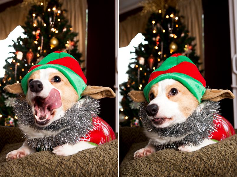 pembroke-welsh-corgi-christmas-card-photos-12