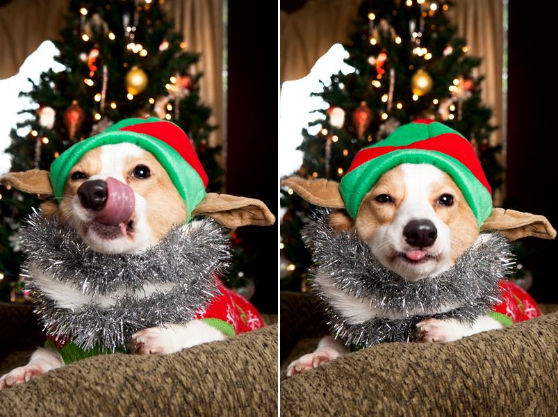 pembroke-welsh-corgi-christmas-card-photos-13