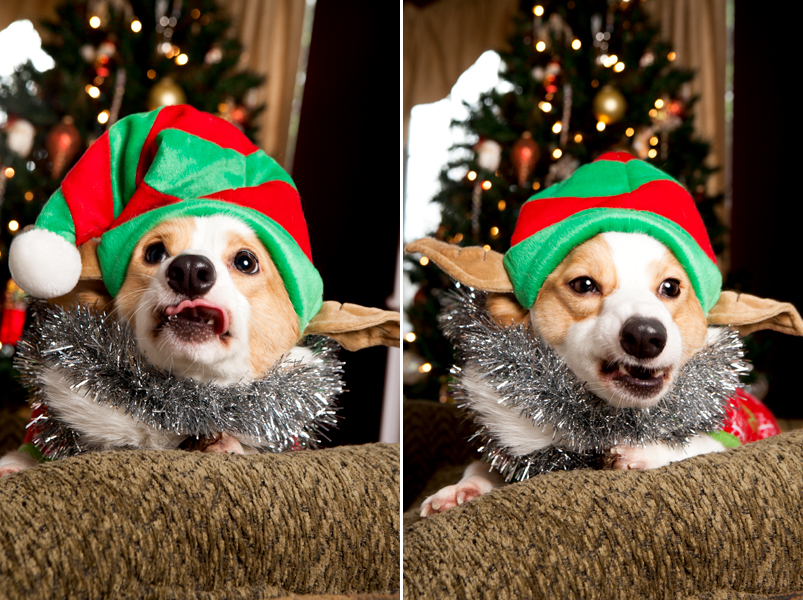 pembroke-welsh-corgi-christmas-card-photos-14