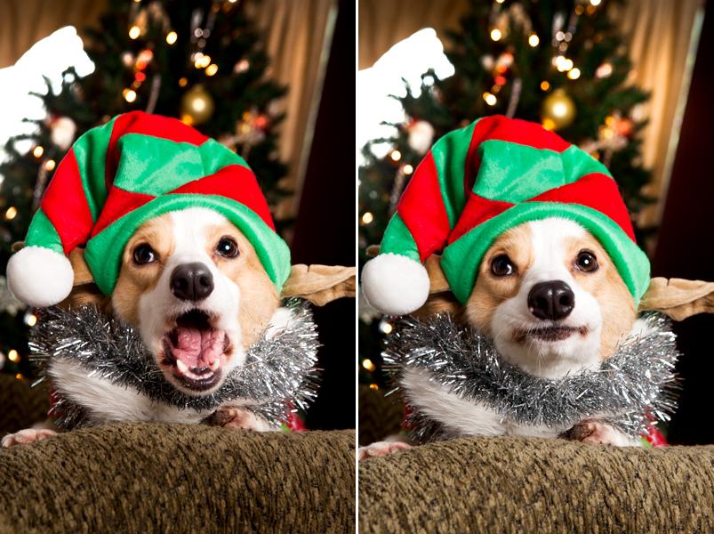 pembroke-welsh-corgi-christmas-card-photos-15