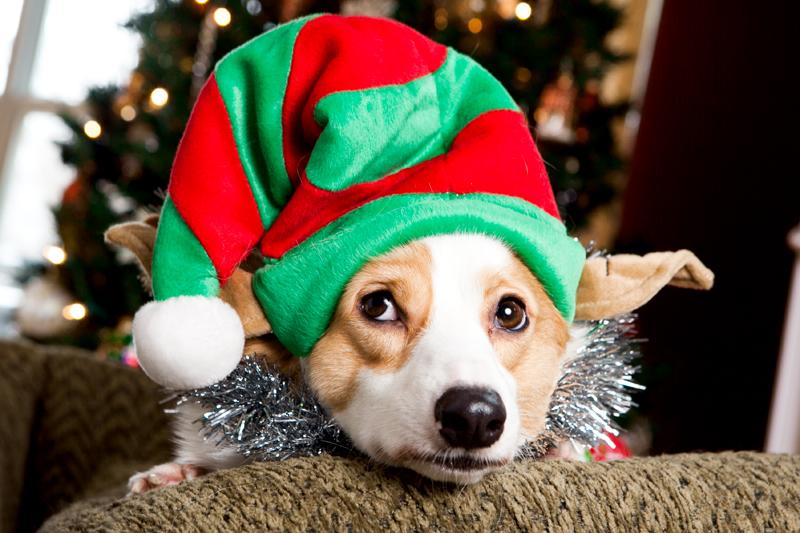 pembroke-welsh-corgi-christmas-card-photos-16