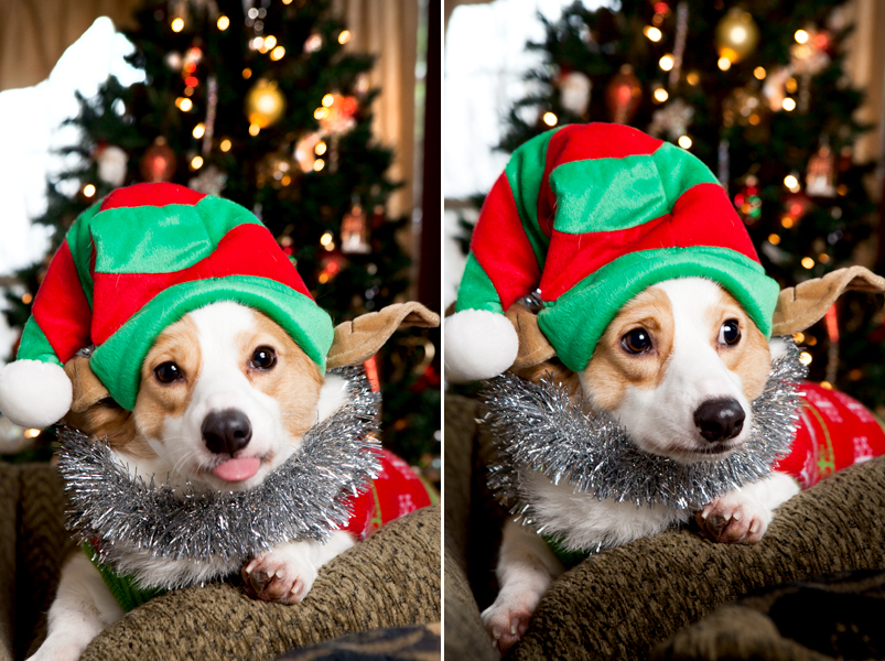 pembroke-welsh-corgi-christmas-card-photos-17