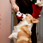 2013-christmas-pembroke-welsh-corgi-02
