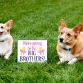 pregnancy announcement with corgi dogs