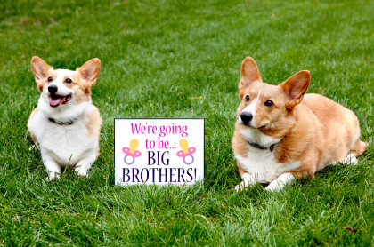 pregnancy announcement with corgi dogs