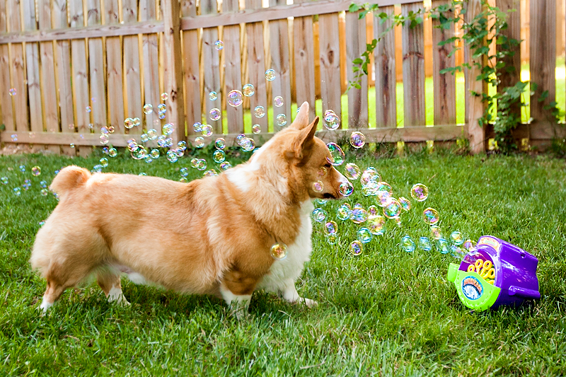 corgi-with-bubble-machine-01