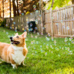 corgi-with-bubble-machine-02