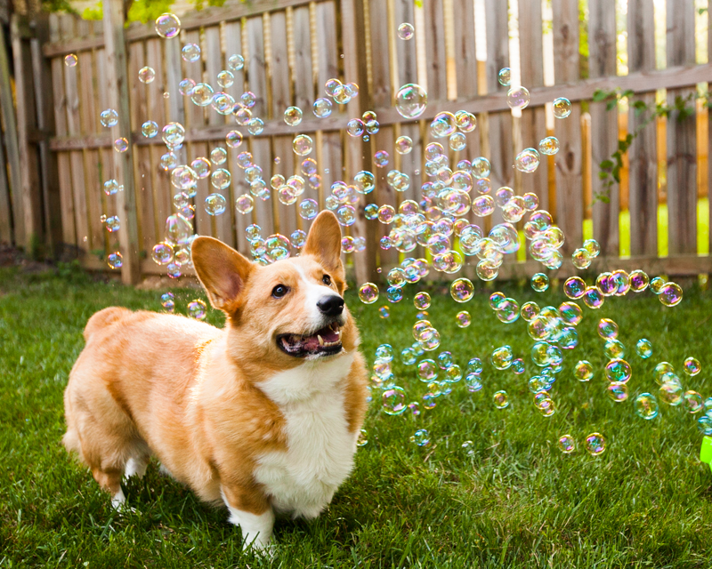 corgi-with-bubble-machine-04