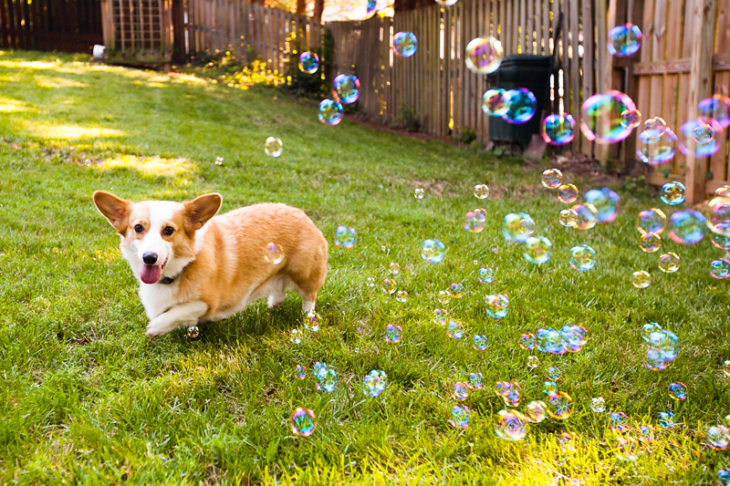 corgi-with-bubble-machine-05