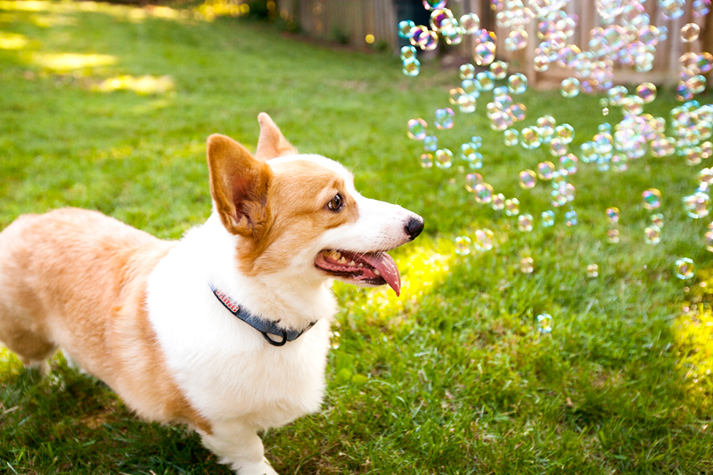corgi-with-bubble-machine-06