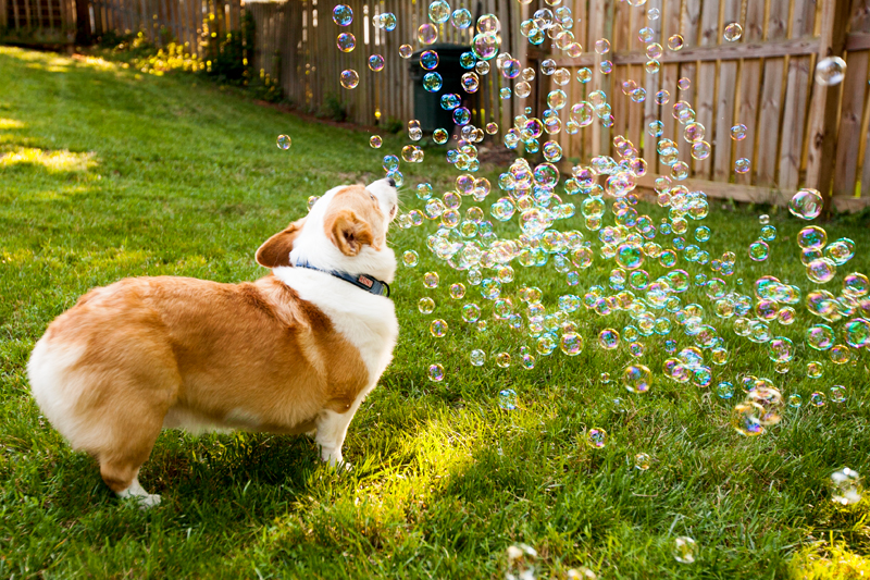 corgi-with-bubble-machine-07