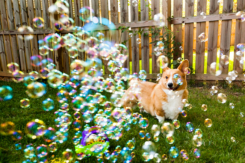 corgi-with-bubble-machine-08