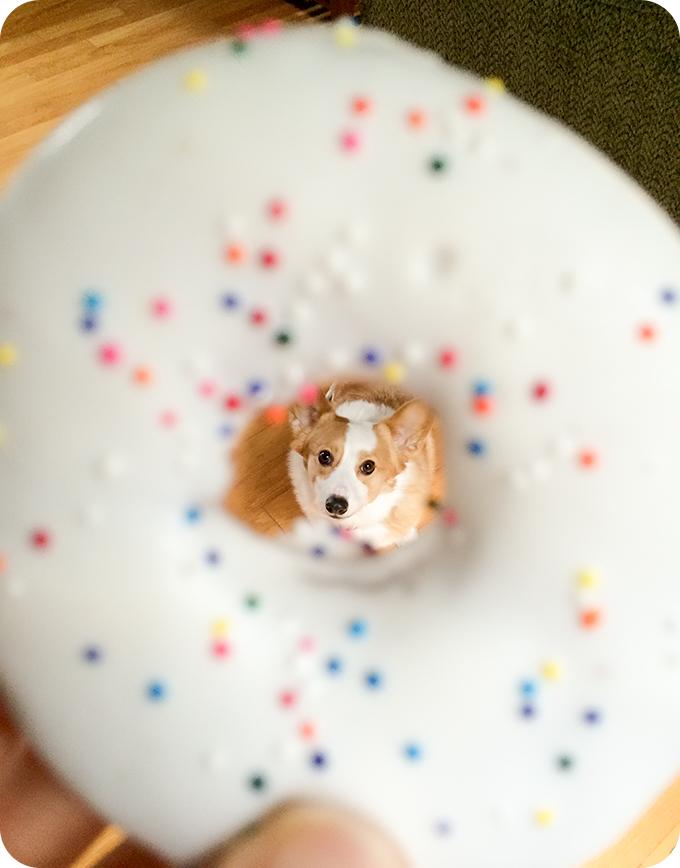 corgi-birthday-with-donut-01
