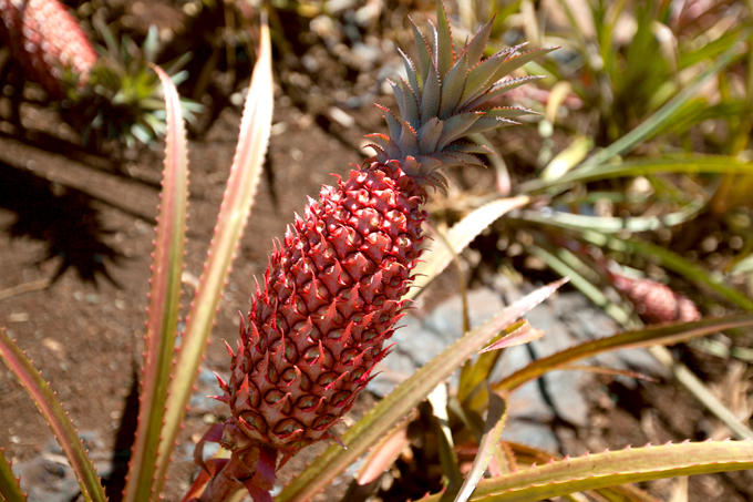 young red pineapple