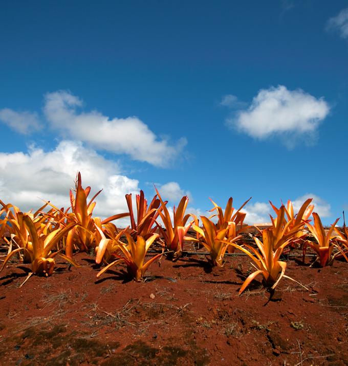 hawaii red dirt