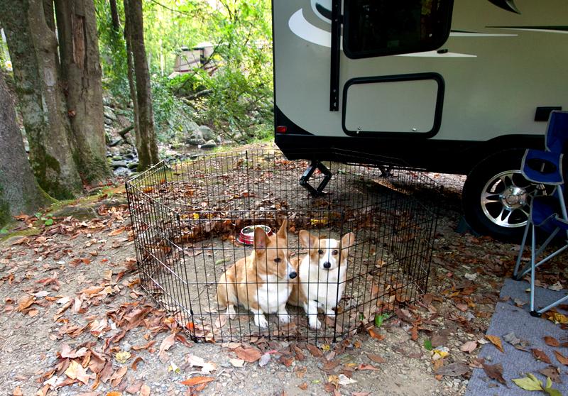 corgis-in-front-of-camper