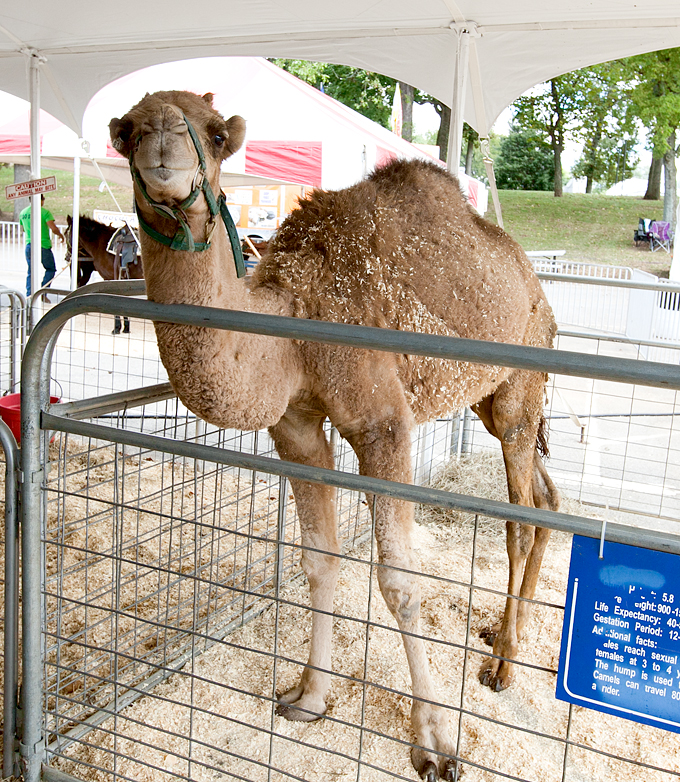 tennessee-valley-fair-livestock-02
