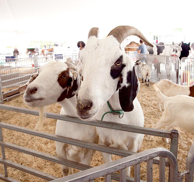 tennessee-valley-fair-livestock-03