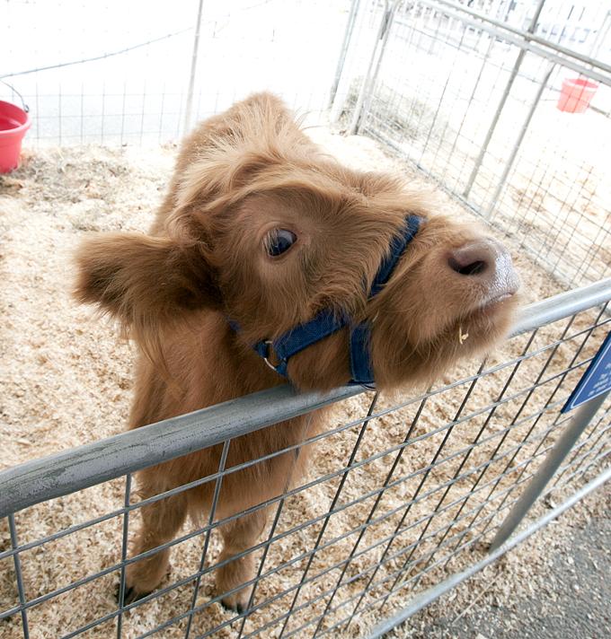 tennessee-valley-fair-livestock-scottish-highlander-cattle