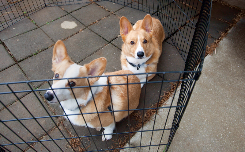 two corgis in a pen outside camper
